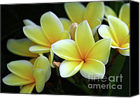 Plumeria Canvas Prints - Yellow Plumeria Cascade Canvas Print by Sabrina L Ryan