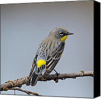 Bob Smithing Canvas Prints - Yellow-rumped Warbler Canvas Print by Bob Smithing