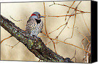 Woodpecker Canvas Prints - Yellow-shafted Northern Flicker Canvas Print by Betty LaRue