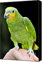 Talk Canvas Prints - Yellow-shouldered Amazon parrot Canvas Print by Elena Elisseeva