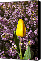 Fragile Canvas Prints - Yellow tulip in the garden Canvas Print by Garry Gay