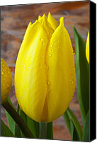 Bold Canvas Prints - Yellow tulip with dew Canvas Print by Garry Gay