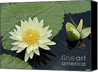 Lotus Pond Canvas Prints - Yellow Water Lily with bud Nymphaea Canvas Print by Heiko Koehrer-Wagner