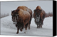 Animals In The Wild Canvas Prints - Yellowstone Bison Canvas Print by DBushue Photography