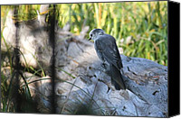 David Dunham Canvas Prints - Yellowstone Gray Jay Canvas Print by David Dunham