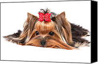 Adore Photo Canvas Prints - Yorkshire Terrier Canvas Print by Konstantin Gushcha