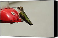 Humming Bird Canvas Prints - You Looking at Me? Canvas Print by Wanda Brandon
