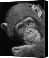 Chimpanzee Photo Canvas Prints - Young Chimpanzee Canvas Print by Larry Linton