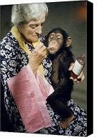 Woman And Nature Canvas Prints - Young Chimpanzee Sips Medicine Canvas Print by B. A. Stewart And David S. Boyer