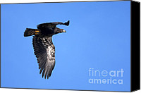 Bald Eagle Canvas Prints - Young Eagle Canvas Print by Sharon  Talson