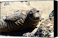 Seals Molting Canvas Prints - Young Elephant Seal Molting . 7D16091 Canvas Print by Wingsdomain Art and Photography