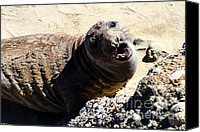 Seals Molting Canvas Prints - Young Elephant Seal Molting . 7D16100 Canvas Print by Wingsdomain Art and Photography