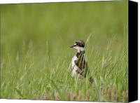 Killdeer Canvas Prints - Young Killdeer in grass Canvas Print by Mark Duffy