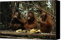 Orangutan Photo Canvas Prints - Young Orangutans Eat Together Canvas Print by Rodney Brindamour