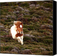 Outdoors Canvas Prints - Young Pony Running Downhill Through Heather Canvas Print by Dominique Walterson