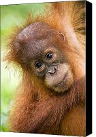 Orangutan Photo Canvas Prints - Young Sumatran Orangutan Canvas Print by Tony Camacho and Photo Researchers