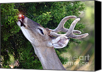 Rudolph Canvas Prints - Your Nose So Bright Canvas Print by Robert Frederick