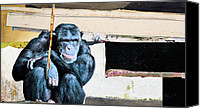 Chimpanzee Canvas Prints - Your Stupidity Amazes Me Canvas Print by Michel  Keck