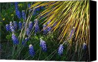Bluebonnets Canvas Prints - Yucca Blue Canvas Print by Robert Anschutz