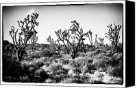 Joshua Trees Canvas Prints - Yucca Brevifolia Canvas Print by John Rizzuto