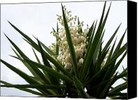 Plants Mixed Media Canvas Prints - Yucca flowers Canvas Print by Evelyn Patrick