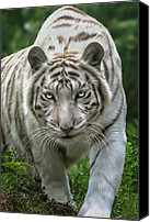 Animals Digital Art Canvas Prints - Zabu Canvas Print by Big Cat Rescue