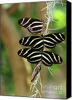 Buddies Canvas Prints - Zebra Butterflies Hanging On Canvas Print by Sabrina L Ryan