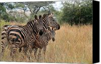 Mare Canvas Prints - Zebra Family Canvas Print by David Gardener