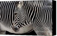 Zoo Canvas Prints - Zebra Head Canvas Print by Carlos Caetano