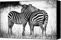 Black And White Photo Canvas Prints - Zebra Love Canvas Print by Adam Romanowicz
