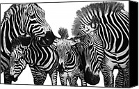 Graphite Canvas Prints - Zebra Nudge  Canvas Print by Peter Piatt