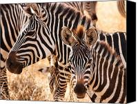 Animal Photo Canvas Prints - Zebras Canvas Print by Adam Romanowicz