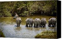 On-the-look-out Canvas Prints - Zebras Drinking with One on the Lookout Canvas Print by Darcy Michaelchuk