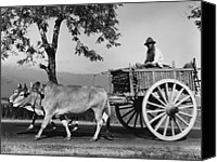 Cart Driving Canvas Prints - Zebu Cart Canvas Print by Richard Harrington