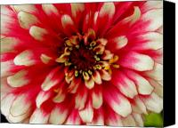 Zinna Canvas Prints - Zinna Closeup Canvas Print by Jeanette Oberholtzer