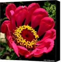 Zinna Canvas Prints - Zinna Photo Canvas Print by M C Sturman
