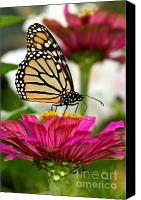 Steve Augustin Canvas Prints - Zinnia Rose and Monarch Canvas Print by Steve Augustin