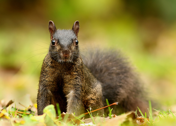 Curious Black Squirrel Print by Mircea Costina Photography
