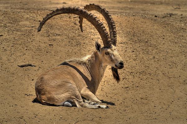 Nubian Ibex Print by Alexander Rozinov