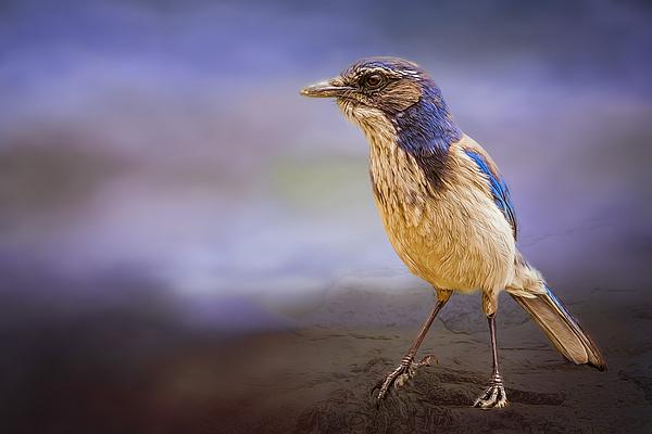Maria Coulson - Blue Scrub Jay