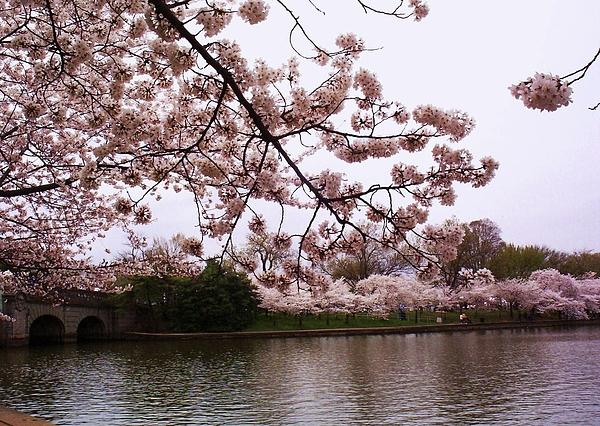 Cherry Blossom Bridge Print by Joyce Kimble Smith