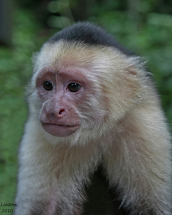 Curious Capuchin Print by Larry Linton
