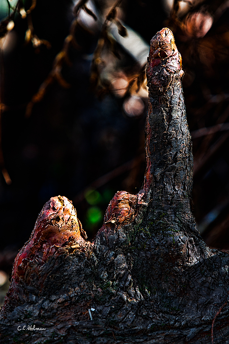 Cypress Knees Print by Christopher Holmes