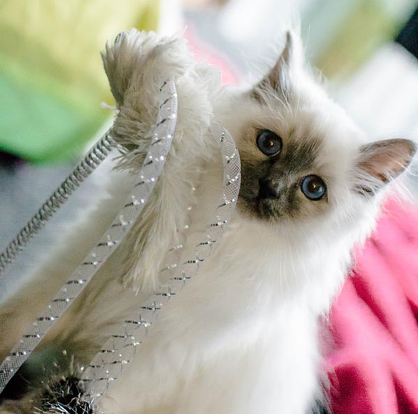 Shivonne Ross - Ernie the Birman kitty