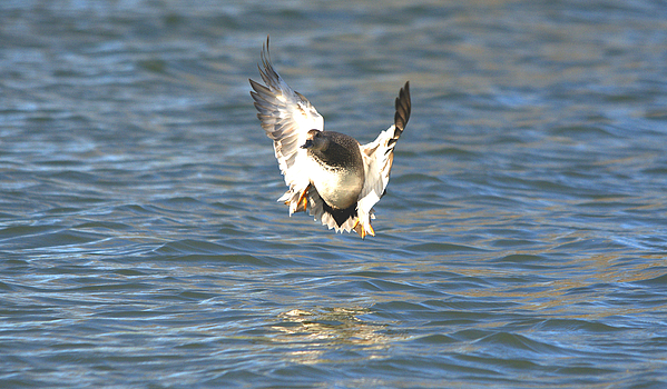 Gadwall Duck Prepared For Water Landing Print by Roy Williams