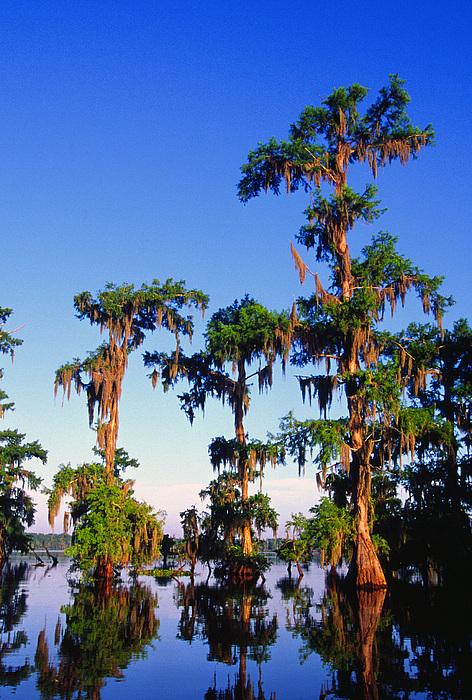 Lake Martin Cypress Swamp Print by Thomas R Fletcher