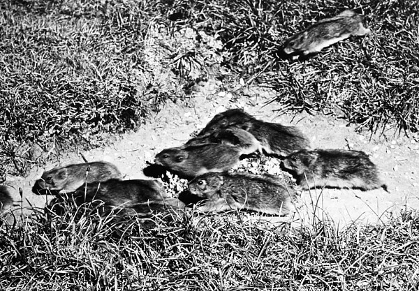 Lemming Migration by Granger