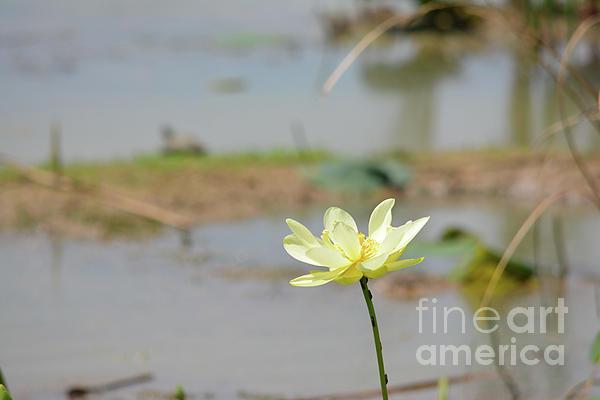 Ruth  Housley - Lotus Flower in Bloom