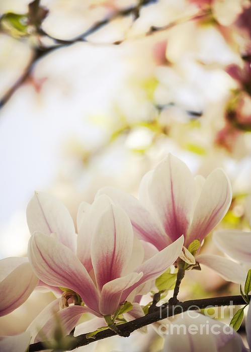 Magnolia Print by Jelena Jovanovic