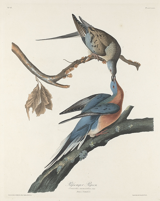 Passenger Pigeon Print by John James Audubon
